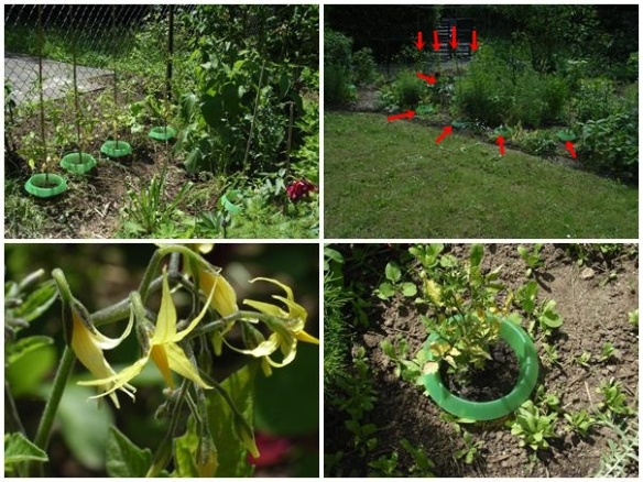 Tomatenpflanzung