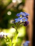 Vergißmeinnicht - meine Lieblingsblümchen